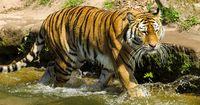 Hund gegen Tiger - Wer gewinnt das ungleiche Duell?