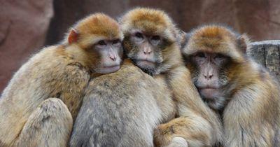 Affe versucht seinen Freund nach Stromschlag zu retten