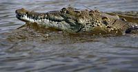 Dieses Krokodil ist ziemlich besonders!