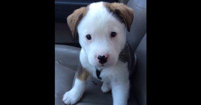Süßer Hundewelpe bekommt Schluckauf