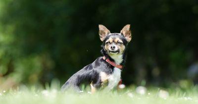 Chihuahua wird von Kojoten angegriffen