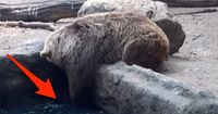 Braunbär mutiert zum Lebensretter