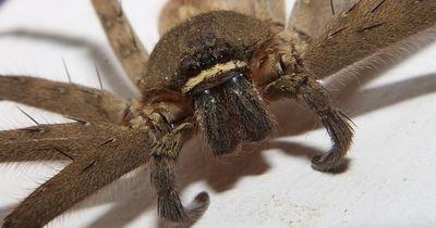 Gruselige Riesenspinnen zum fürchten