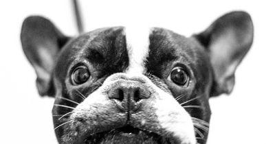 French Bulldog Dad zieht andere Seiten auf