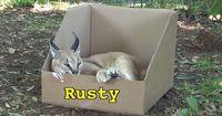 Katzen lieben Kisten! Auch Großkatzen?