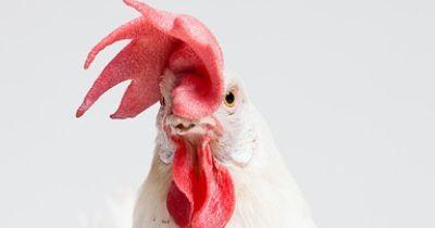 Wenn ein Hahn zur Frau wird