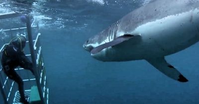 Horror: Auge in Auge mit einem weißen Hai