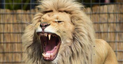 Dieser Löwe jagt eine ganze Stadt