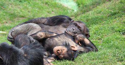 Schimpansen können chillen