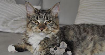 Diese Katze sieht es nicht gern, wenn Herrchen ihre Maus klaut!
