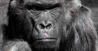 Gorillas sind auch nur Menschen! Sie können ernst, böse und nachdenklich schauen.