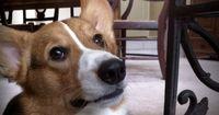 Der faulste und niedlichste Hund der Welt: Der Corgi