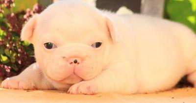 Unglaublich talentierter French Bulldog Puppy