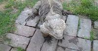 Dieser Leguan benimmt sich wie ein Hund