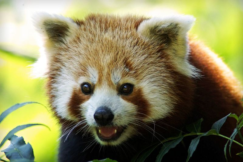 11 Gründe, warum diese roten Pandas gut für dich sind!