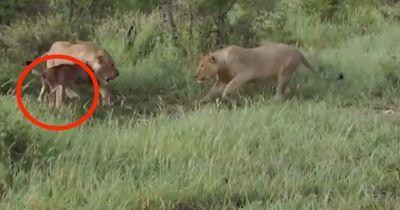 Spektakuläre Löwenjagd: Wen beschützt die Löwin?
