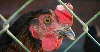 Dieses Huhn stammt aus einer Legebatterie – sein Schicksal ist besiegelt ...