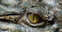 Die Jagd nach dem Riesen-Krokodil
