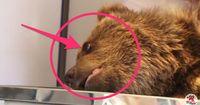 Bärenbaby brutal von Mutter getrennt