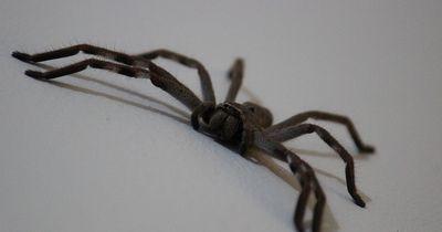 Keine Angst vor der Huntsman Spider