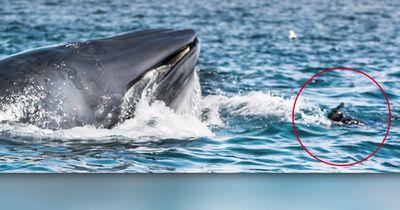 Verschlungen von einem Blauwal