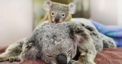 Koala-Baby klammert sich an seine halbtote Mutter. Doch es ist nicht das, was du denkst!