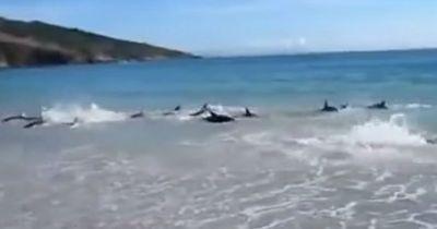 Diese 30 Delfine strandeten