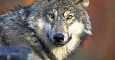 Diese 10 Wölfe beweisen, dass sie unglaublich niedlich sind!