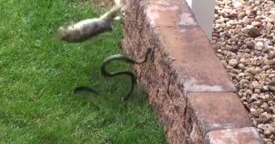 Schrecklich - Eine Schlange greift Hasenbabys an