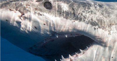 Unglaubliche Fakten zum Weißen Hai