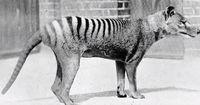 Der Tasmanische Tiger - der Mensch gab ihm nie eine Chance