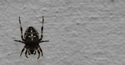 Heimische Spinnen - Die Kreuzspinne