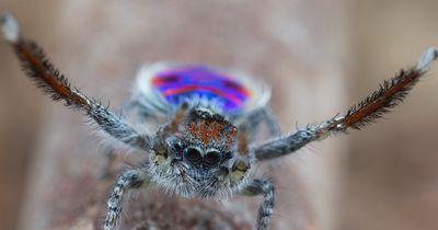 Peacock Spider Pfauenspinne - Die tanzende Spinne