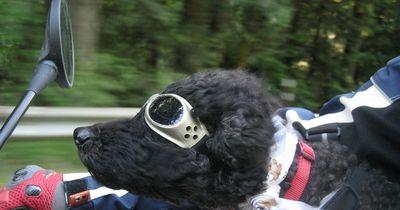 Coole Hunde fahren wie in Easy Rider