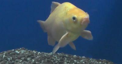 Dieser Goldfisch sollte eigentlich vor 7 Jahren Fischfutter werden