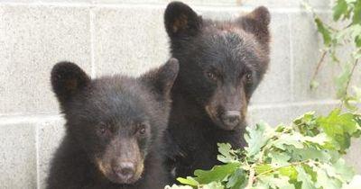 Naturschutzbeamter soll 2 Bären-Babys töten!
