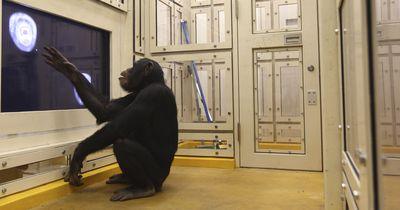 Sind Affen schlauer oder so intelligent wie wir Menschen?
