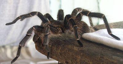 Die Tarantel - Groß wie deine Hand!