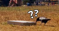 Krähe überrascht umliegende Parkbesucher.