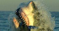 Haie auf der Jagd