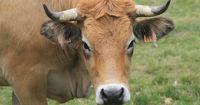 Kuh kracht gegen Auto und muss geschlachtet werden!