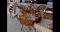 Über 1000 Rehe legen Straßenverkehr in Japan fast lahm!