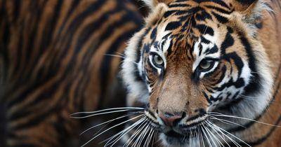Diese Familie lebt mit Tigern zusammen!