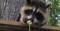 7 Gründe, warum Waschbären die niedlichsten Tiere überhaupt sind!