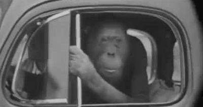 Wenn Affen fahren