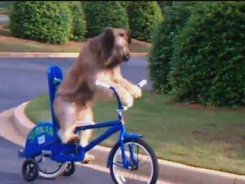 Hunde fahren Fahrrad
