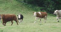 Die andere Seite der Kuh