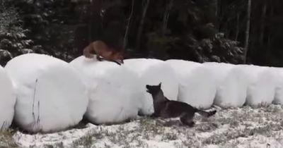 Ein Hund und ein wilder Fuchs treffen auf einander