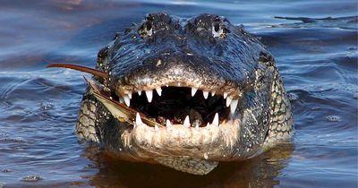 Alligator vs. Zitteraal - wer gewinnt das Duell?