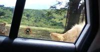 Ein Neues Zeitalter beginnt! Löwen haben herausgefunden, wie man Autotüren öffnet!
